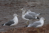 California & Ring-billed Gulls