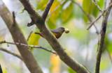 Chestnut-vented Euphonia