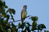Yucatan Flycatcher
