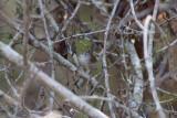 White-bellied Wren