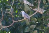 Blue Ground-Dove