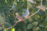 Blue Ground-Doves