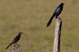 Great-tailed Grackles