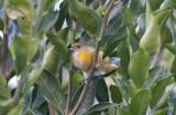 Yelow-throated Euphonia