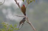 Grayish Saltator & Golden-olive Woodpecker