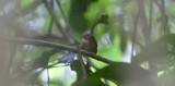 Stub-tailed Spadebill