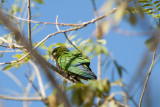 Olive-throated (Aztec) Parakeet