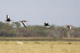 Black-bellied Whistling-Ducks