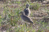 Double-striped Thick-knee