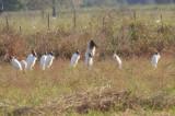 Jabiru & Wood Storks