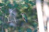 Wedge-tailed Saberwing
