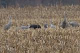 Hooded Crane (with Sandhill Cranes)