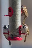 Eurasian Tree Sparrowg