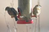 House & Eurasian Tree Sparrows