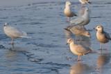Glaucous, Iceland, Thayer's & Herring Gulls