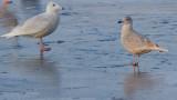 Gulls of Canal Park; Duluth, MN 2012