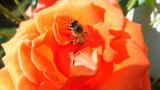 Bee on Orange Rose