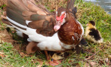 Muscovy Ducks and Chicks
