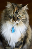 Agnes - Maine Coon Mix