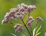 Spotted Joe Pye Weed (Eupatorium maculatum)