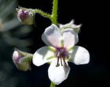 Moth Mullein (Verbascum blattaria)