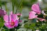 Swamp Rose Mallow (Hibiscus moscheutos)