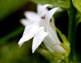 Great Lobelia (Lobelia siphilitica) (all white)