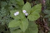 Toothwort (Dentaria diphylla)