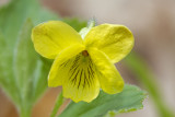Yellow violet (Viola pubescens)
