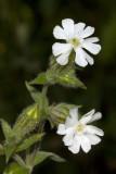 White campion (Lychnis alba)