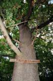 A Szent Márton-fa - The Saint Martin tree.jpg