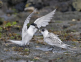 Sandwich Tern (adult and juvenile)