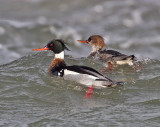Red-breasted Merganser Fife Ness 2nd March 2006