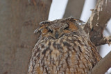 Long-eared owl Asio otus mala uharica_MG_4980-11.jpg