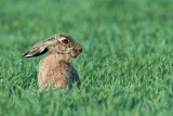 brown_hare_lepus_europaeus