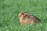 Brown hare Lepus europaeus poljski zajec_MG_9455-111.jpg