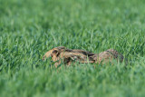 Brown hare Lepus europaeus poljski zajec_MG_9429-111.jpg