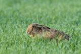 Brown hare Lepus europaeus poljski zajec_MG_9468-111.jpg