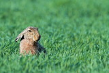 Brown hare Lepus europaeus poljski zajec_MG_9371-111.jpg