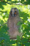 Young Long-eared owl mladiè male uharice_MG_5266-11.jpg