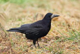 Rook Corvus frugulegus poljska vrana_MG_8923-11.jpg