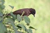 Common bulbul Pycnonotus barbatus bulbul_MG_8039-11.jpg