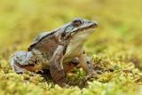 Agile frog Rana dalmatina rosnica_MG_1205-11.jpg