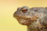 toads_bufo