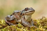 Agile frog Rana dalmatina rosnica_MG_1142-111.jpg