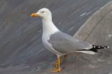 Yellow-legged gull Larus michahellis rumenonogi galeb_MG_0421-11.jpg