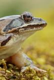 Portrait of agile frog portret rosnice_MG_1187-11.jpg