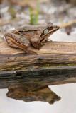 Agile frog Rana dalmatina rosnica_MG_1244-11.jpg