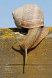 Roman snail Helix pomatia veliki vrtni pol¾_MG_2676-11.jpg