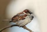 House sparrow Passer domesticus domaèi vrabec_MG_9593-11.jpg